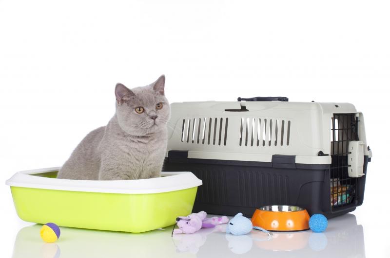 8556664-british-shorthair-cat-with-basic-equipment